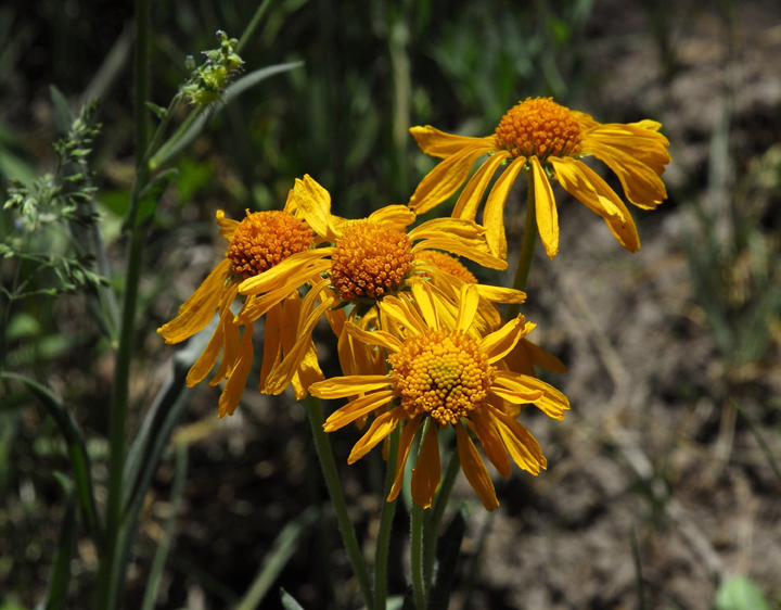 Orange-yellow flowers with spherical centers with slender pedals growing on long stems.